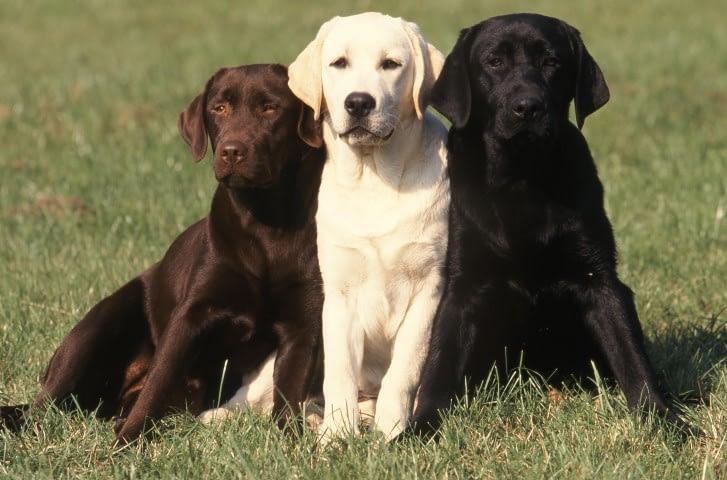 Labrador Retriever schwarz braun gold